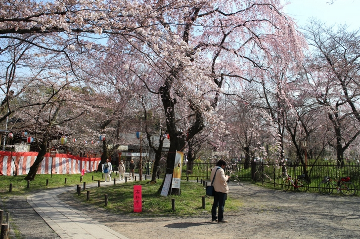 お花見席の桜(2017年4月5日撮影)