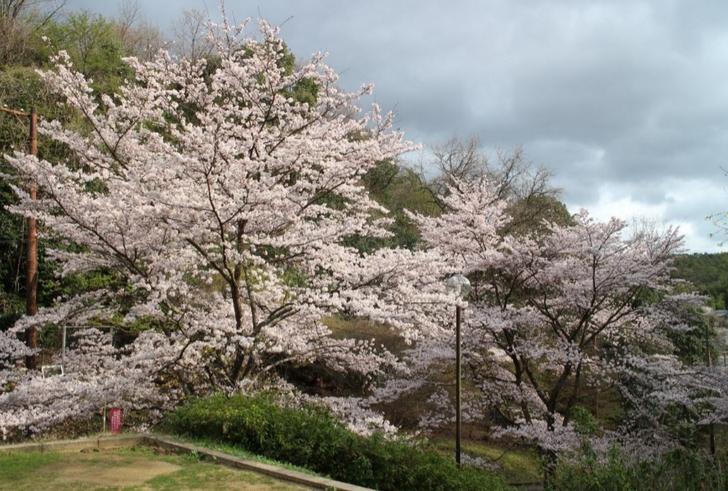 京都市北区の氷室道にある「誰も来ない公園」の桜