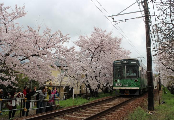嵐電の「桜のトンネル」も見ごろでした