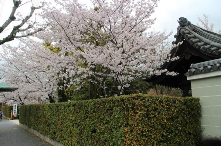 花園駅近く「法金剛院」の桜も満開でした