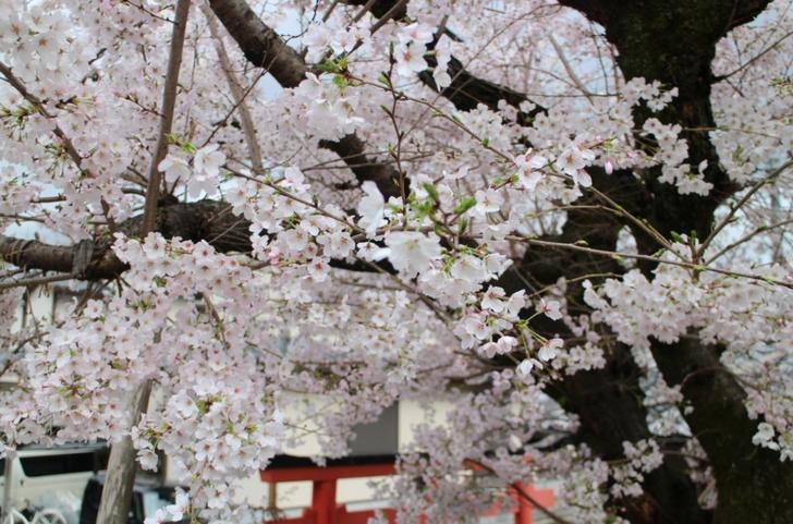 天龍神大神社の鳥居と桜