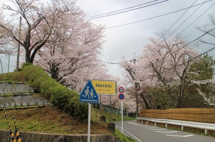 仁和寺の裏手にも桜並木