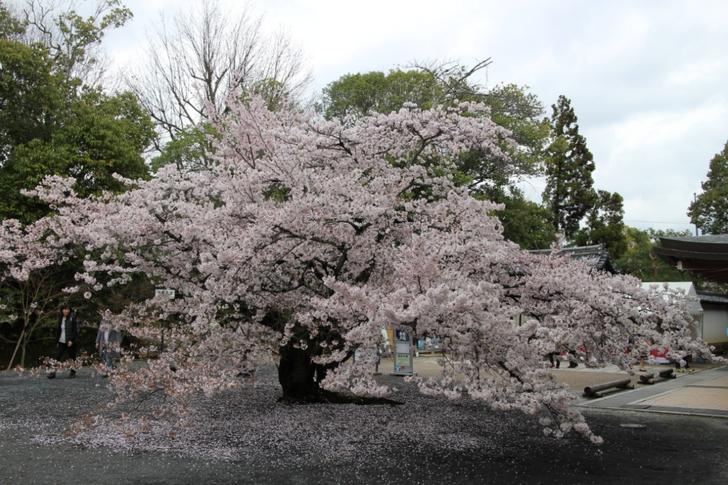 仁和寺 東門のソメイヨシノが満開です