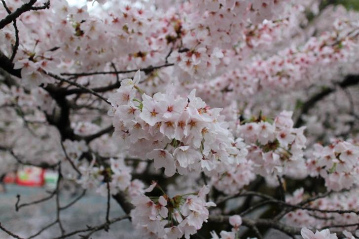 2017年4月9日、京都の桜はだいたいこんな感じです