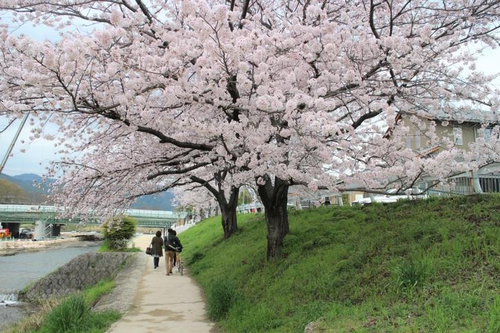 場所は上賀茂神社のある「御園橋」の鴨川沿いです