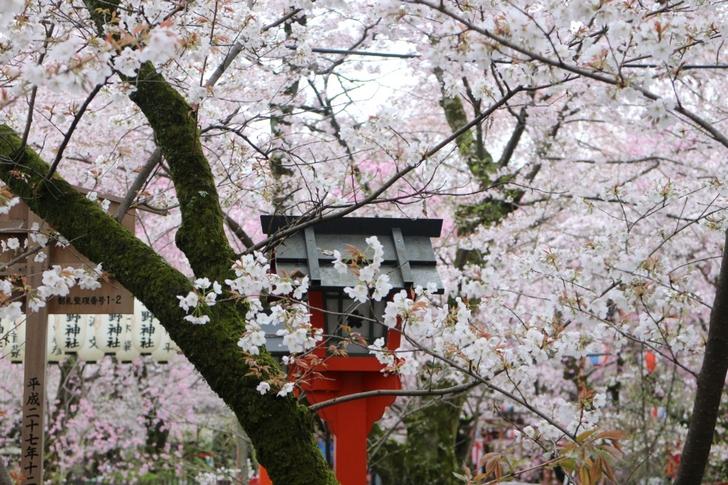 お花見席の桜 2017年4月12日も結構咲いていました