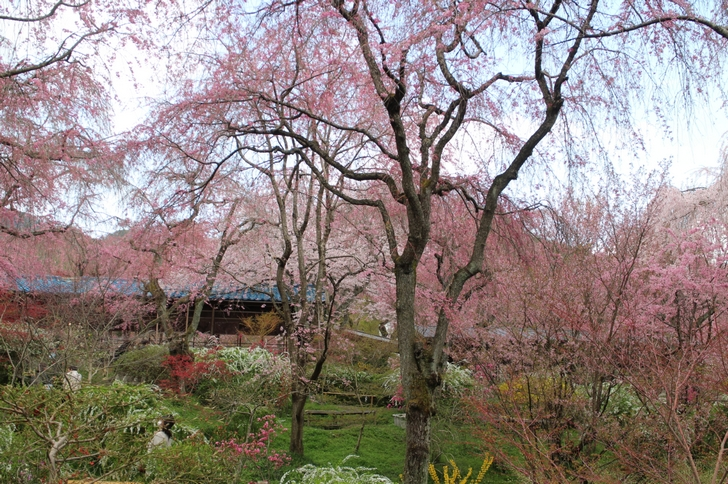 前日までの雨で若干ぬかるんでいますが桜は綺麗です