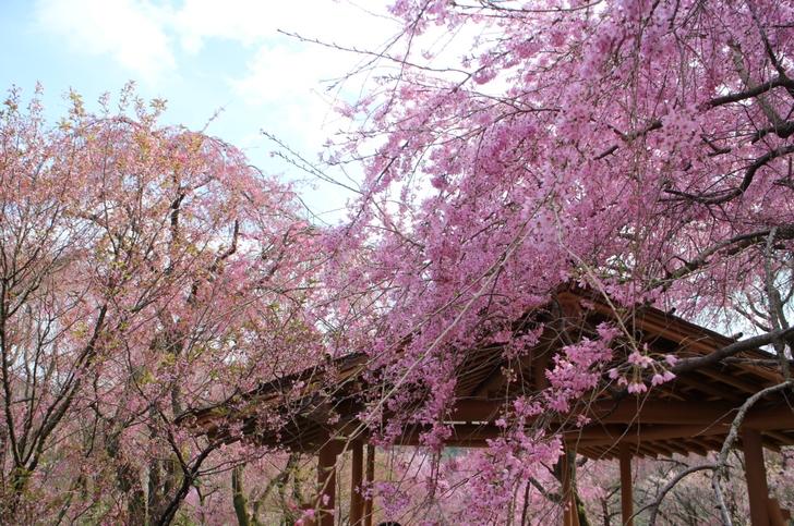 原谷苑 2017年春の桜の開花状況(2017年4月12日朝撮影)