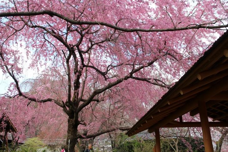 お弁当を食べるところの桜が一番きれいです