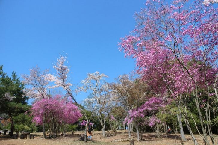 嵐山の桜 新名所(2017年4月13日撮影)