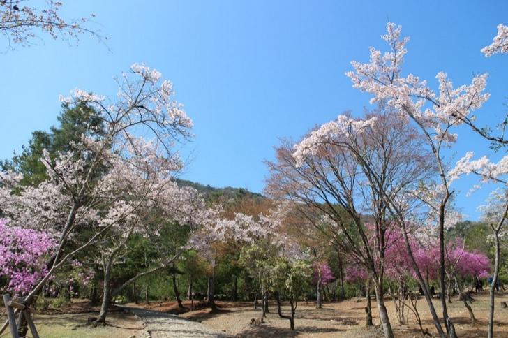 嵐山公園亀山地区の桜