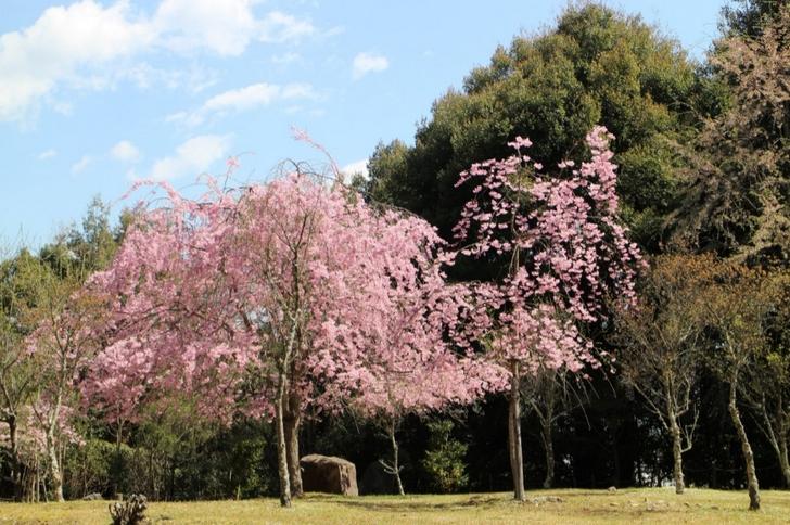 見事な桜が嵐山の奥にあります