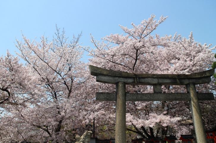 「六孫王神社」の染井吉野(ソメイヨシノ)