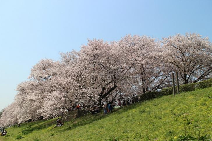 全長1.5kmの桜並木 背割堤