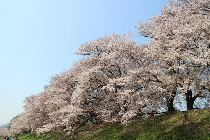 桜はどれも大きい木なので見ごたえがあります