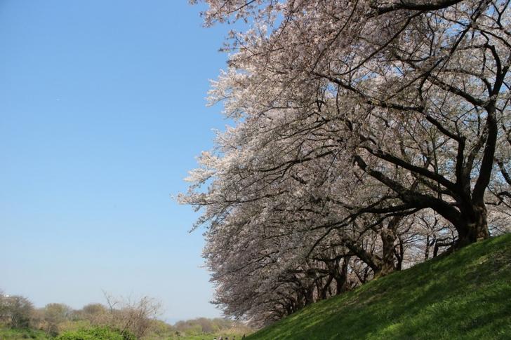 宇治川沿いは土手に花見客がいないので撮影に向いていました