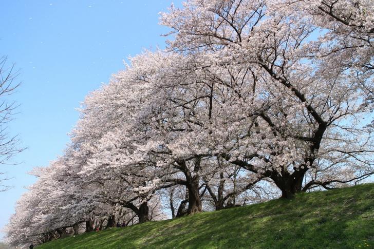 桜の見頃は折り返して、桜の花びらが散っていました