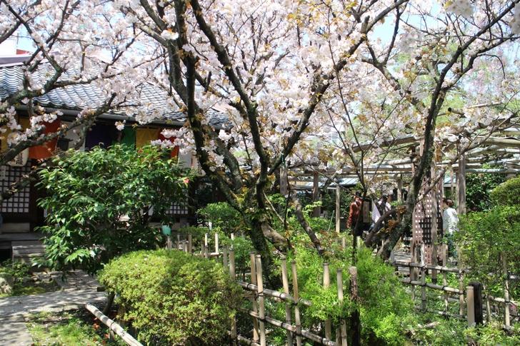 松月桜は葉も出ていますがまだキレイでした