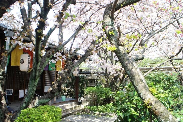 観音堂前の「観音桜」は少し早く咲きます