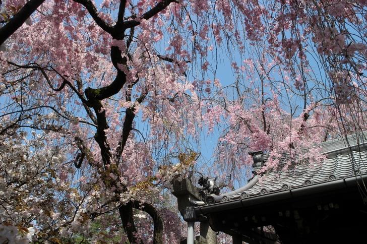 枝垂桜はまだキレイに見ることができます