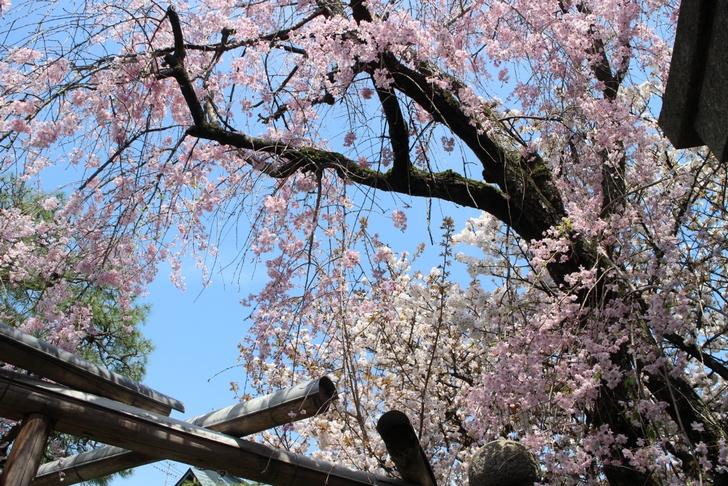 西陣の桜の名所「雨宝院(うほういん)」の桜(2017年4月16日撮影)