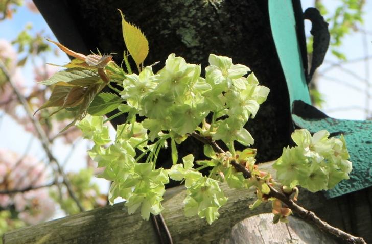 花が緑の御衣黄(ぎょいこう)という桜