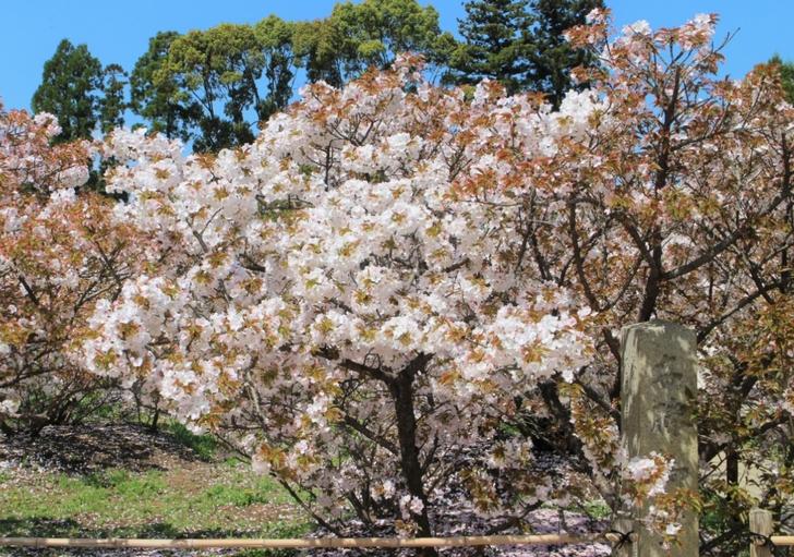 京都・仁和寺の桜「御室桜」