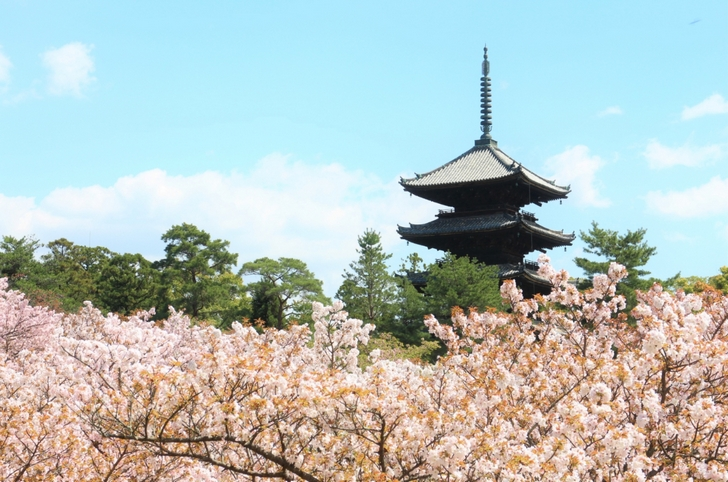 仁和寺五重塔と御室桜が見られるスポットです
