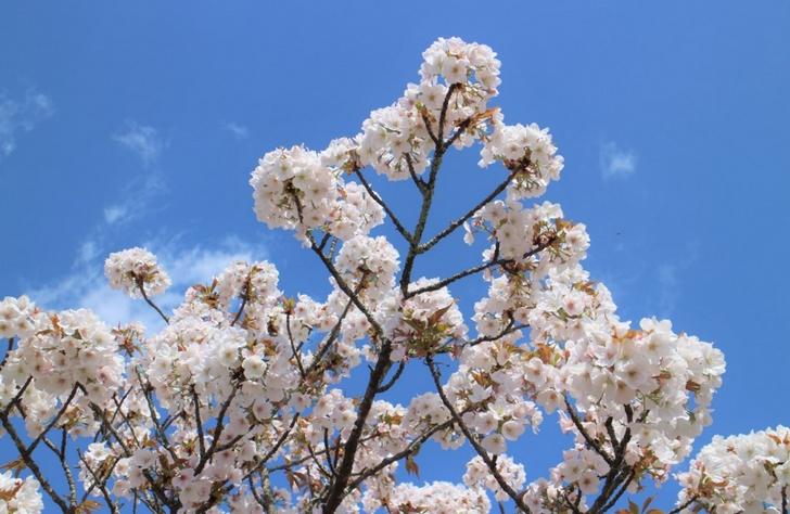 木によってはまだ8分咲きくらいのものも