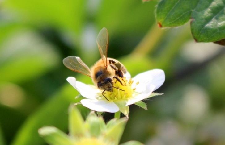 ハチによる受粉だと野菜にストレスがかからないとされます