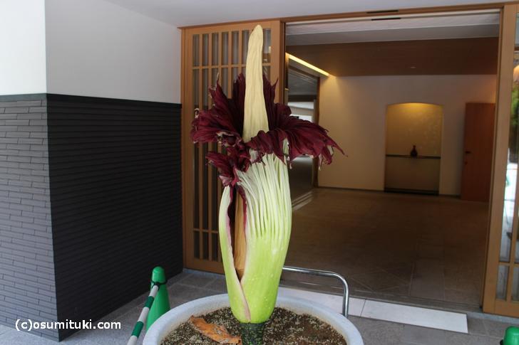 「ショクダイオオコンニャク」の開花が一般公開
