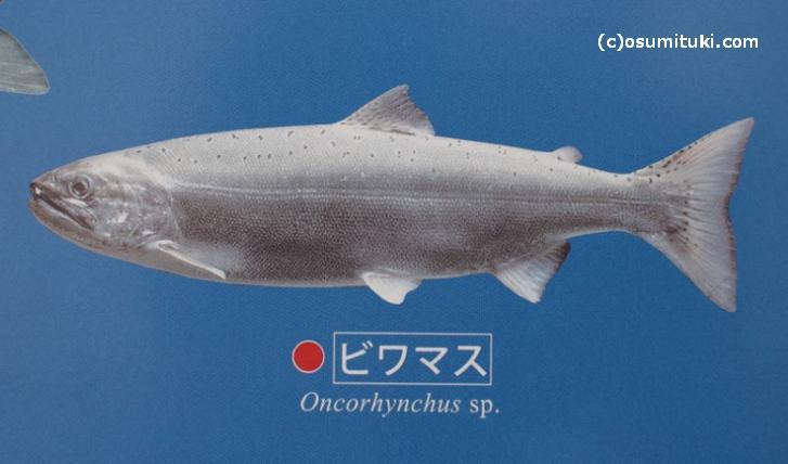 ビワマスは琵琶湖に住む固有種の魚です