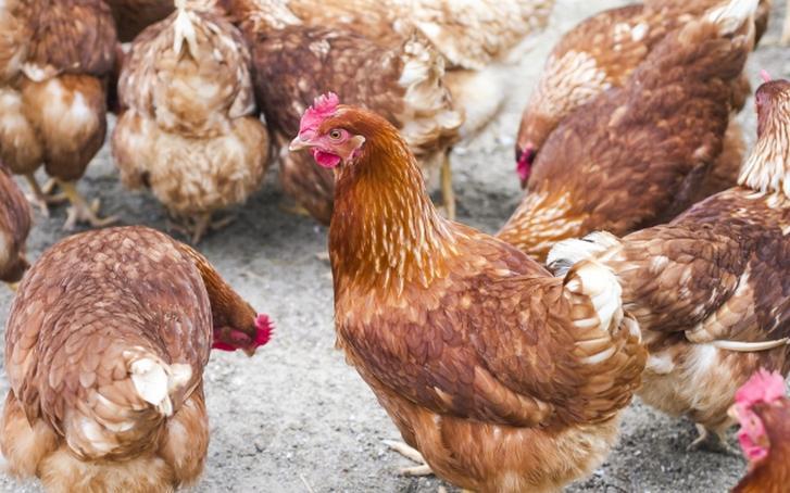 「ボリス・ブラウン」という茶色い鶏は大きい卵を産みます