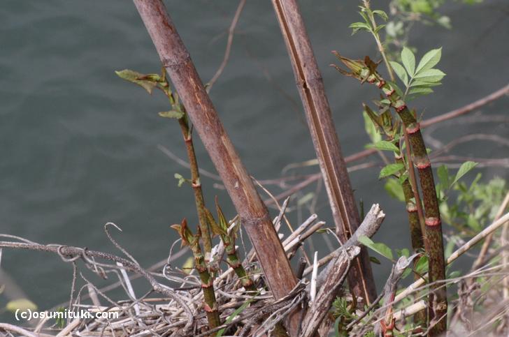 イタドリは山間部に自生する山菜です