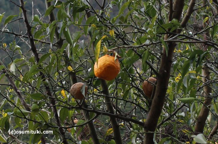 柚子胡椒は皮を使うので、黄色のものより緑色のものが使われます