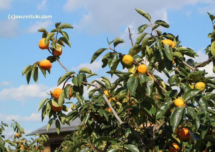 大枝柿 もうすぐ旬です!