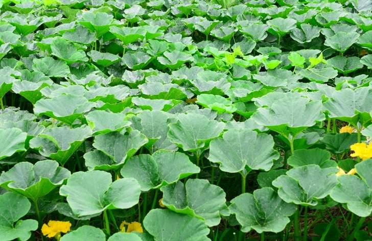 普通のかぼちゃは地面で収穫しますが、山梨県甲州市にはブドウのように実る「天空かぼちゃ」があります