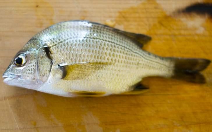 広島湾の牡蠣筏(かきいかだ)で獲れるチヌ(黒鯛)