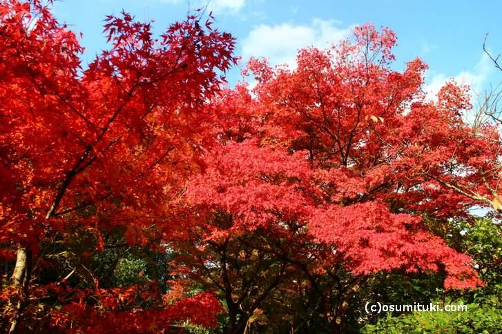 光悦寺は駐車場の紅葉が一番早く色づきます