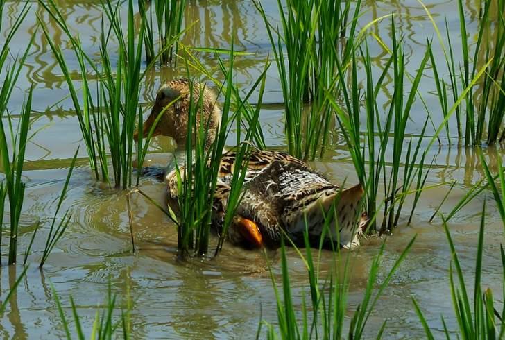 合鴨は農家では「合鴨農法」で田んぼで飼われていたりもします