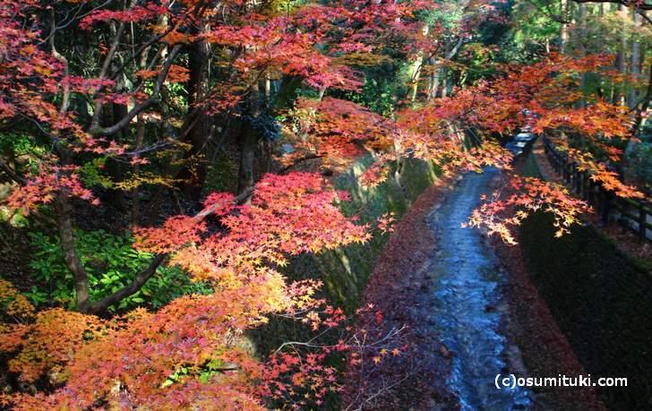 鶯橋から見た紅葉