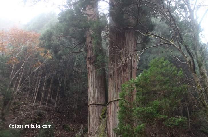 花脊の三本杉が日本一高い木になりました