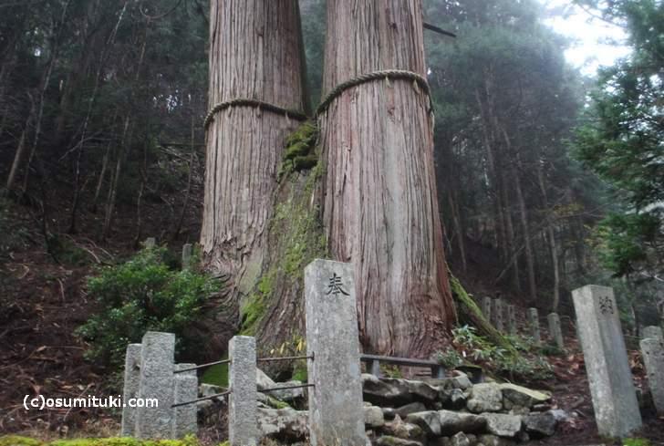 花脊の三本杉は、京都自然200選にも選定されています