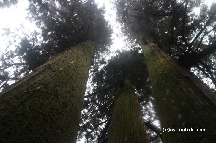 花脊の三本杉の高さは最も高い木で「62.3メートル」(全国1位)