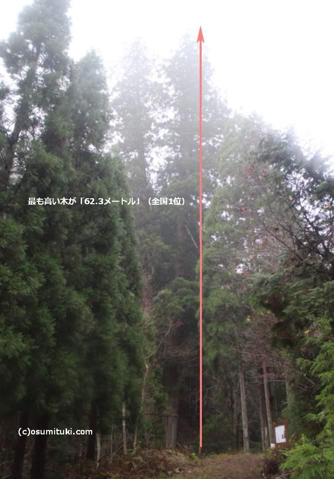 3本の杉(1本は右の木の後ろにあります)
