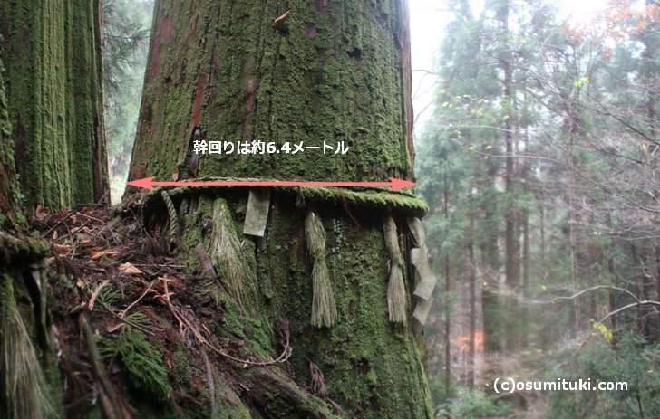 花脊の三本杉の幹回りの長さは「6.4メートル」