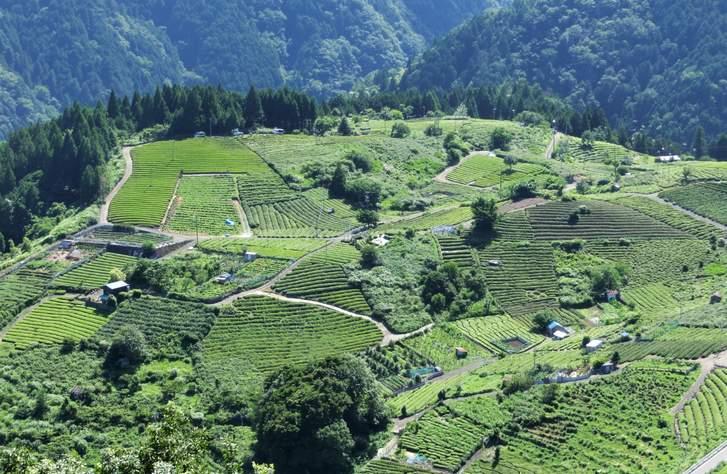 天空の茶畑(岐阜県揖斐川町)