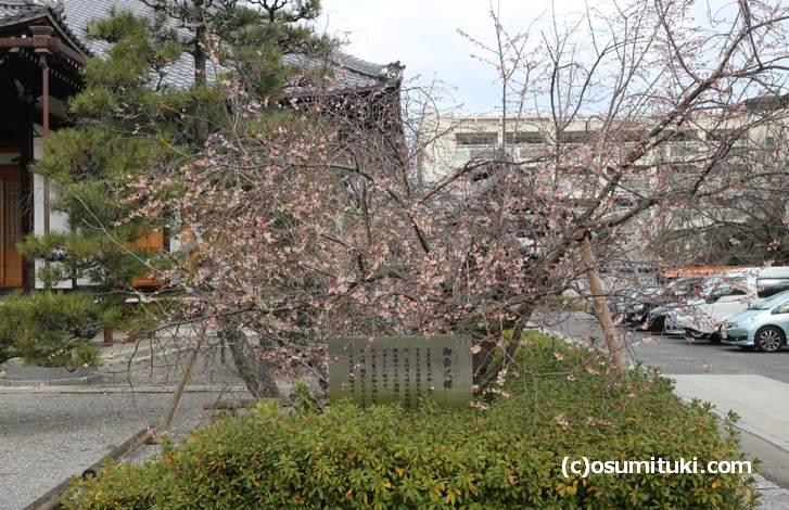 冬に咲く桜が京都にはある(2018年1月15日撮影)