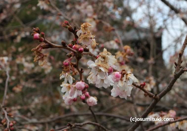 京都・妙蓮寺にある「御会式桜(おえしきさくら)」