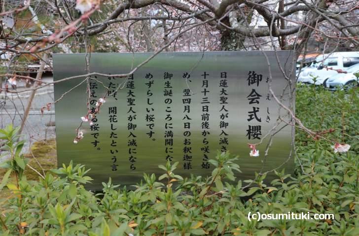 御会式櫻(おえしきさくら)とは10月~4月まで咲く桜